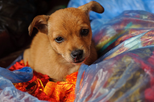 Puppy on a Bag of Silk Scraps from Lantern Making | by goingslowly