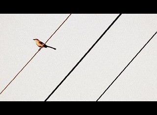 Three Wire Bird | by noseforpics..