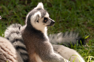 Ring Tailed Lemur, Adelaide Zoo | by andrew52010