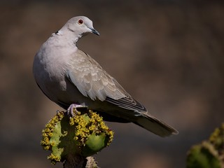 Eurasian Collared Dove (Streptopelia decaoto), Guatiza, Lanzarote | by Frank.Vassen