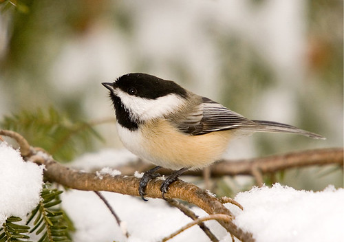 Chickadee in Snowy Hemlock | by Jerry Acton