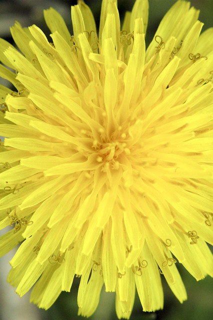 Taraxacum officinale  COMMON DANDELION