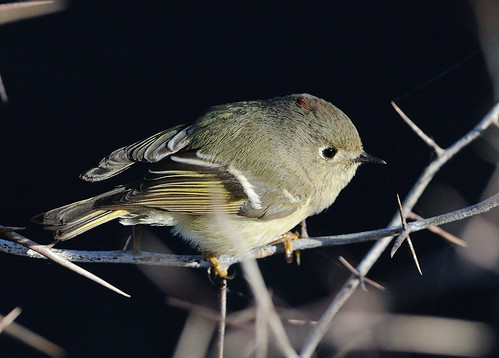 Ruby-Crowned Kinglet - Male | by Wilfred Wong Photography
