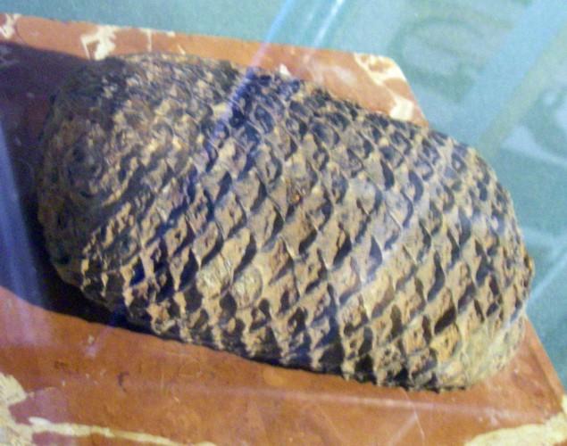 Araucaria mirabilis 29888795040_592cdb7e87_o