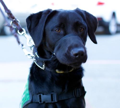 Guide Dog Puppy Raiser Wa