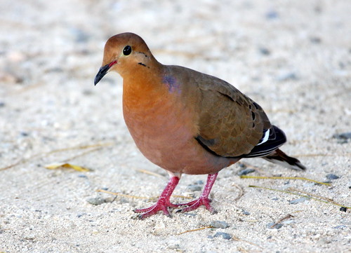 Zenaida Dove | by Charles D. Peters, M. P. R.
