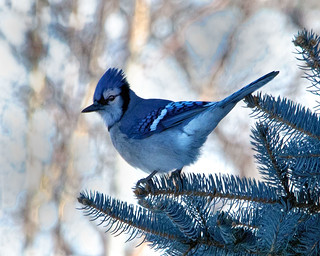 Mr. Blue Jay in a Blue Spruce Tree | by Robert Scott Photographyy