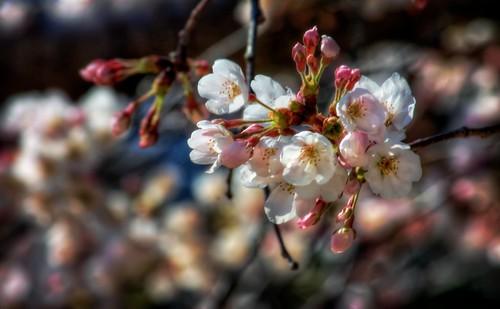 ffbe how to get sakura