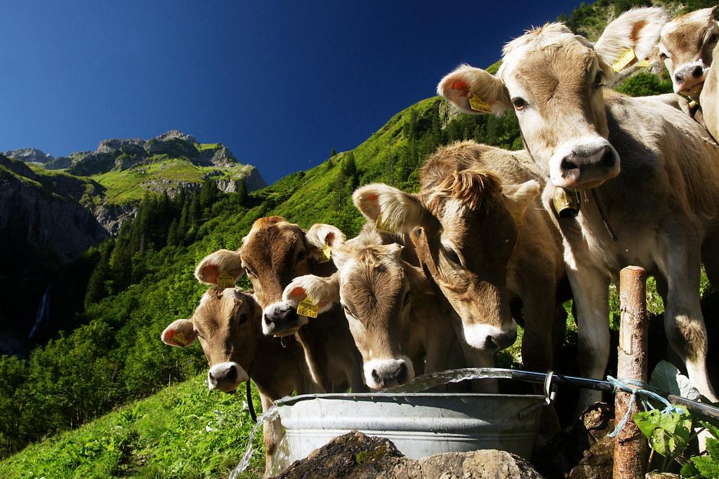 Schalzbach Kälber | Kälbertränke auf der Alpe Oberschalzbach… | Flickr