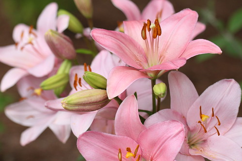 Asian lilies | by Vicki's Nature