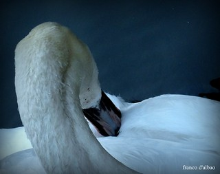 The lonely swan | by Franco D´Albao