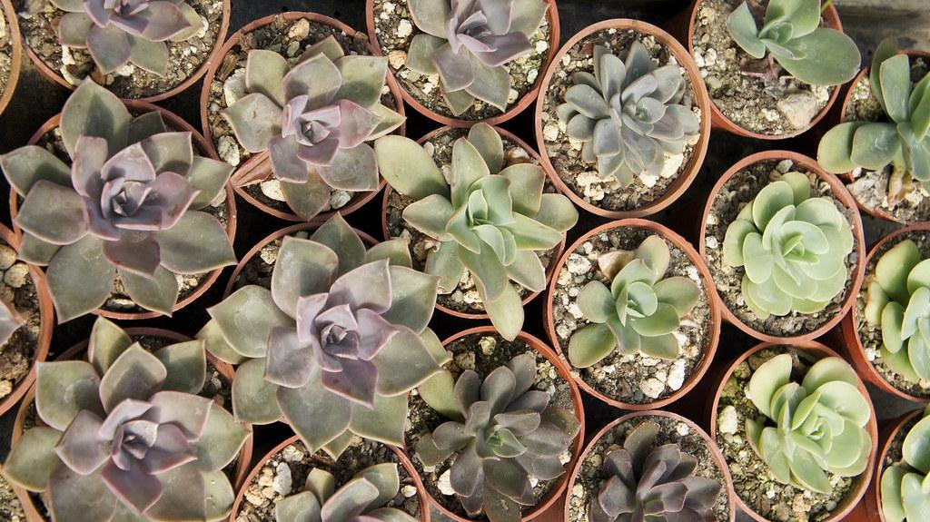 多肉植物 Succulent