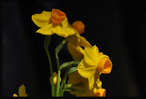 Narcissus | by Puccalllina