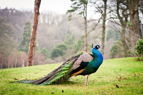 Rushpool Hall Resident Peacock | by Lyle McCalmont