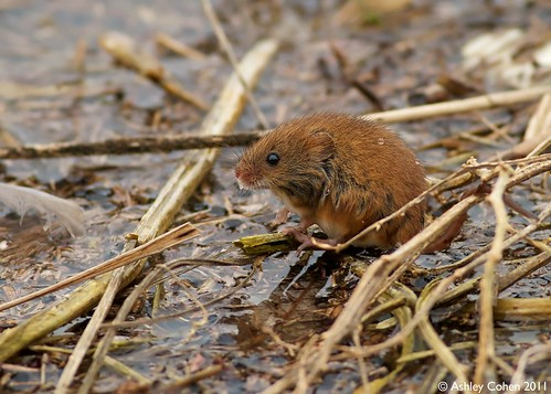Harvest Mouse - Looking for a Temporary Home | by Ashley Cohen Photography