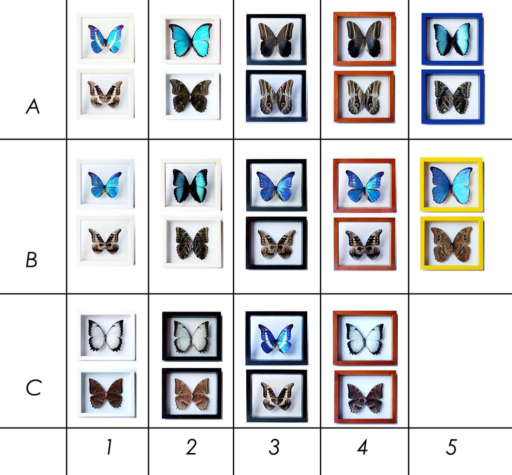 D SETS for Framed Blue Morpho Butterfly Collections from B… | Flickr