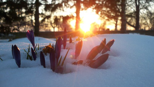 Crocuses, Snow & Sunset | by carriejeberhardt