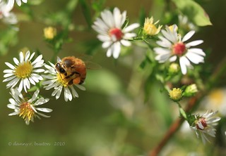 Honey Bee #1 | by Danny Buxton