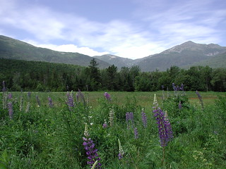 Lupines in the field | by Great Glen Trails