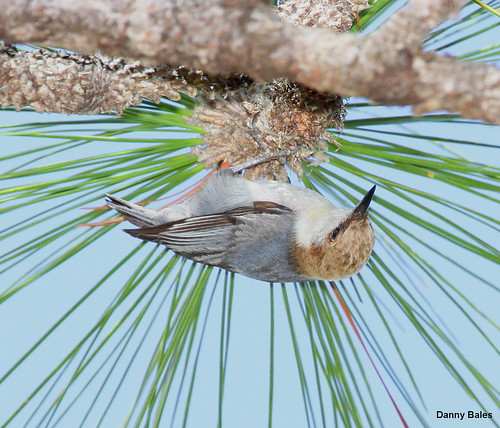 BROWN-HEADED NUTHATCH 3672 | by Mudhen2
