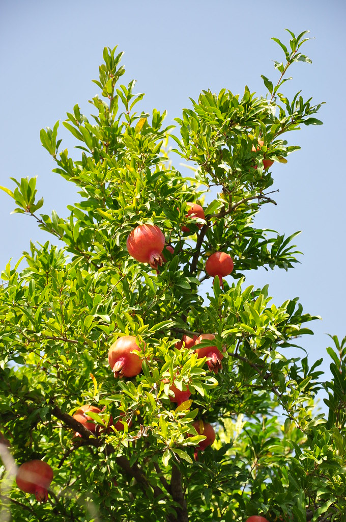 The Pomegranate Is One Of The Symbols Of Armenia And Repre Flickr
