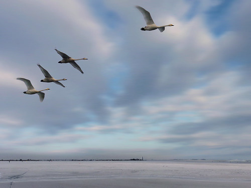 Tundra swans in an arctic flight | by B℮n