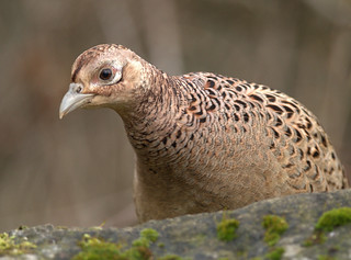 Unexpected Visitor!!  (Female Pheasant) | by marsch1962
