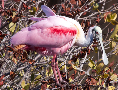 Roseate Spoonbill | by Laura Erickson