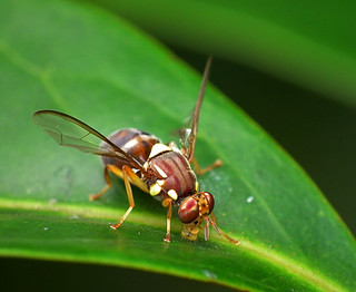 Queensland Fruit Fly -  Bactrocera tryoni | by James Niland