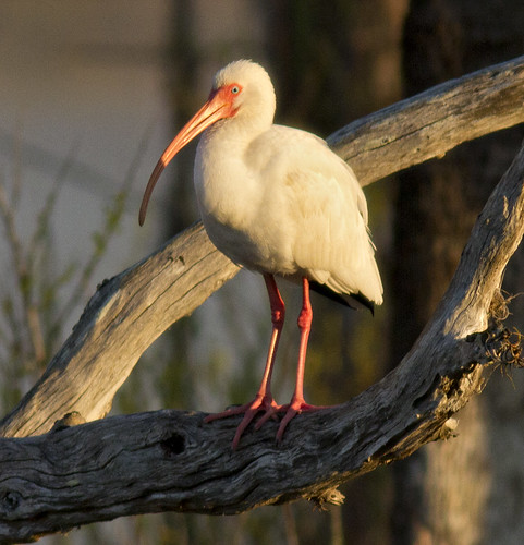 White Ibis-b | by Steve Russell Photography