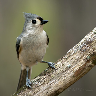 Titmouse - backyard loudmouth | by Renda ...be back when less bear activity