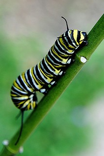 Monarch Caterpillar climbs the stem of a Crown Milkweed | by jungle mama