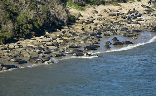 Elephant seals colony which started in 1981 | by zug zwang