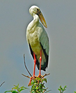 Asian Openbill Stork,( Anastomus oscitans) on a perch. | by Suri JV (on and off)