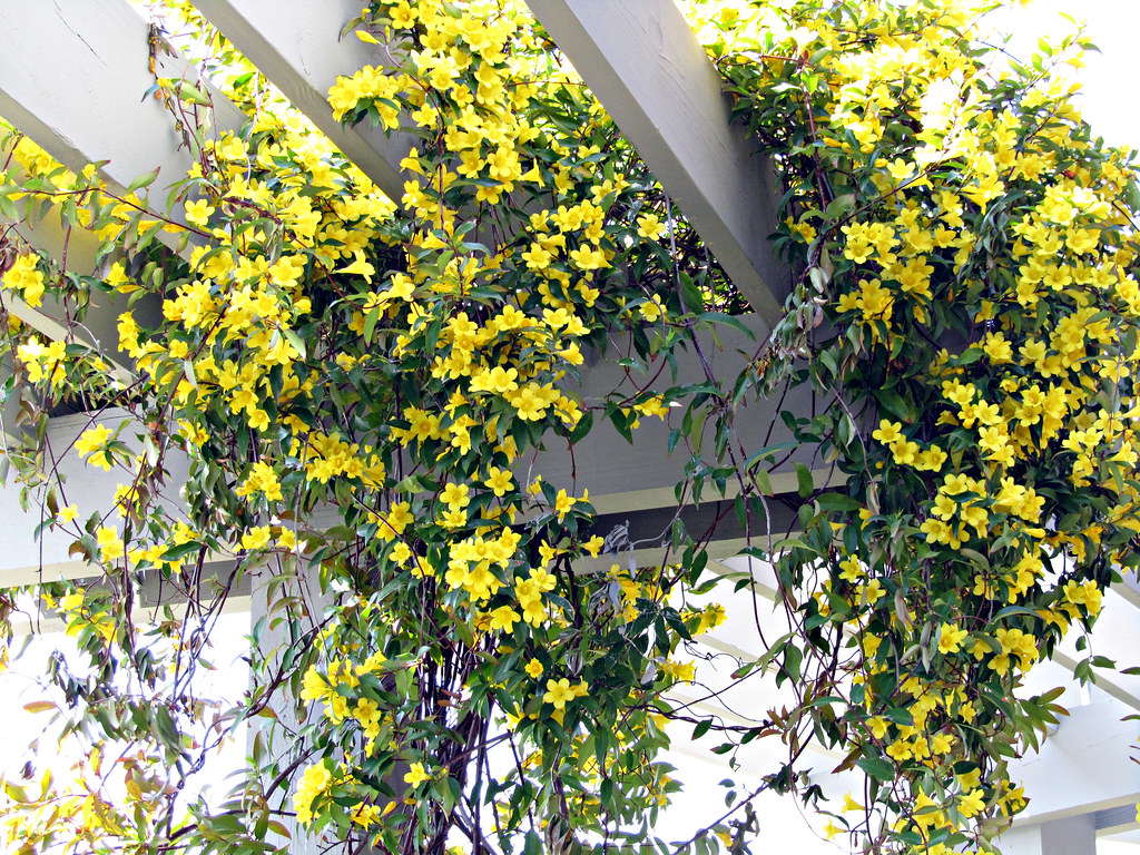 Yellow Jessamine South Carolina State Flower Hilton Head Flickr