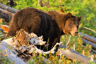 Grizzly Bear | by Julie Lubick