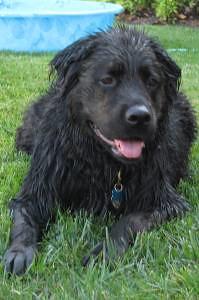 Newfoundland Rottweiler Vorax Schutzhund Rescue Sidelines Sports