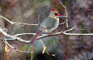 Female Cardinal | by Diane G. Zooms---Mostly Off