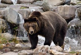 Grizzly Bear Emerging from a Stream | by KRHphotos