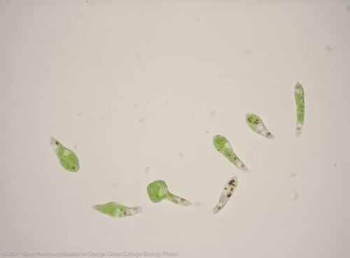 Live Euglena moving - 2 of 3 | by Marc Perkins - OCC Biology Department