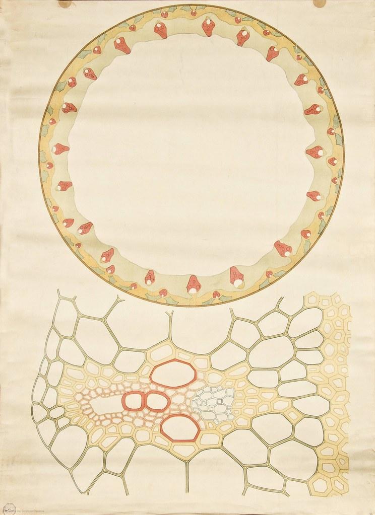 Monocot stem cross-section -- Anatomia Vegetal 1929, pub. … | Flickr