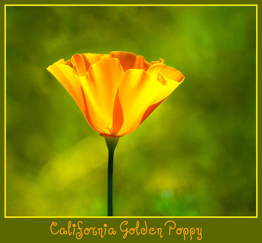 California State Flower The Golden Poppy D2x 3 31 114 Flickr