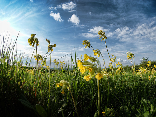 Cowslip Meadow | by alexbrn