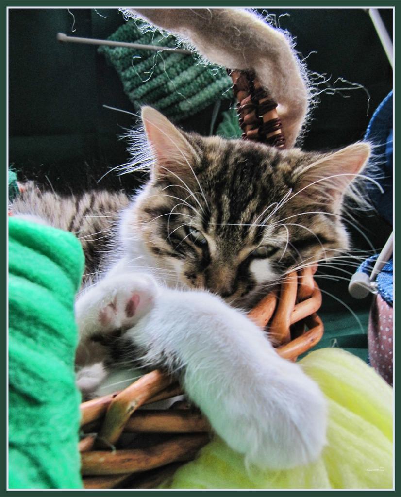 Cute Kitty Cat Kitten Knitting in a Basket of Wool & Yar…
