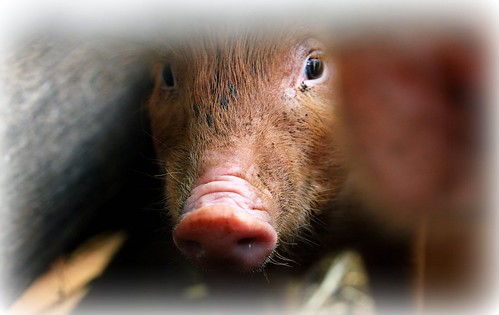 peekaboo pet pig | by paloetic