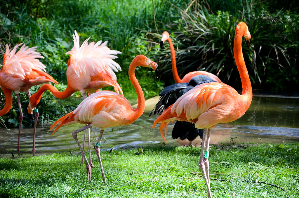 Les flamants roses de la ménagerie