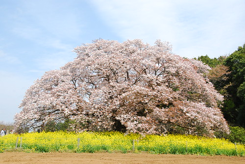 Big Cherry Blossom Tree