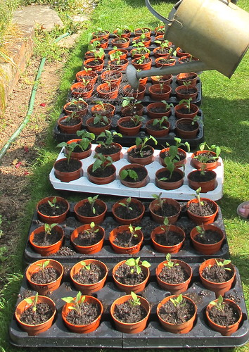 2635 watering repotted seedlings | by crabchick