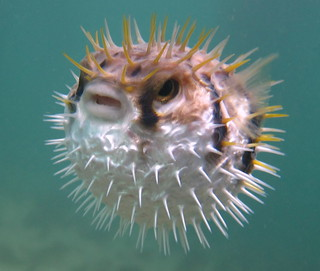 Angry Puffer | by Saspotato