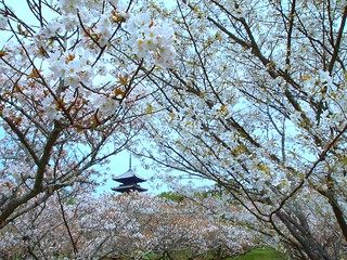 Sakura at  Ninna-Ji Temple:御室仁和寺 | by love_child_kyoto